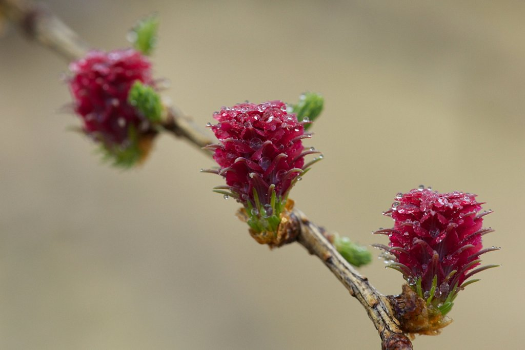 Lärchenblüte im Morgentau