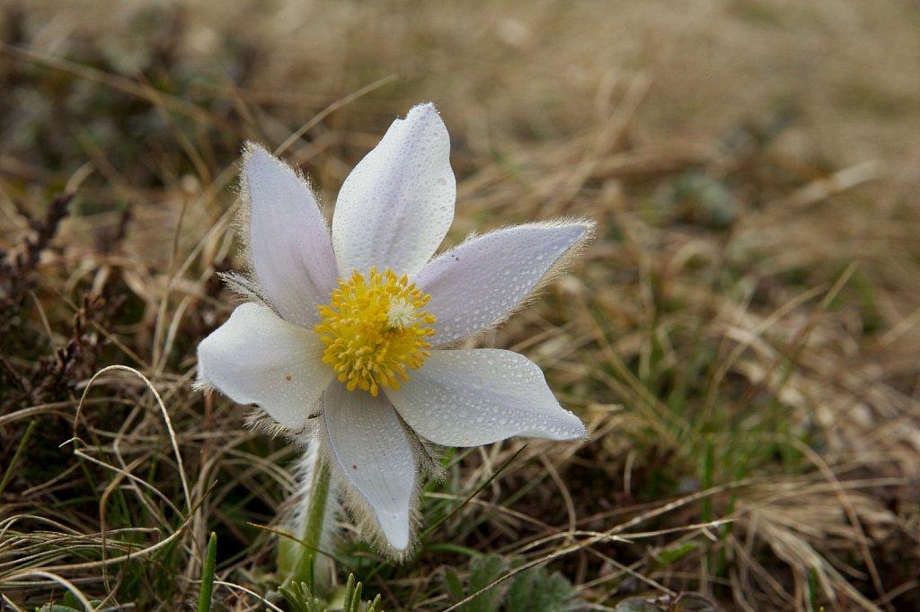 Die erste Frühlingsblume